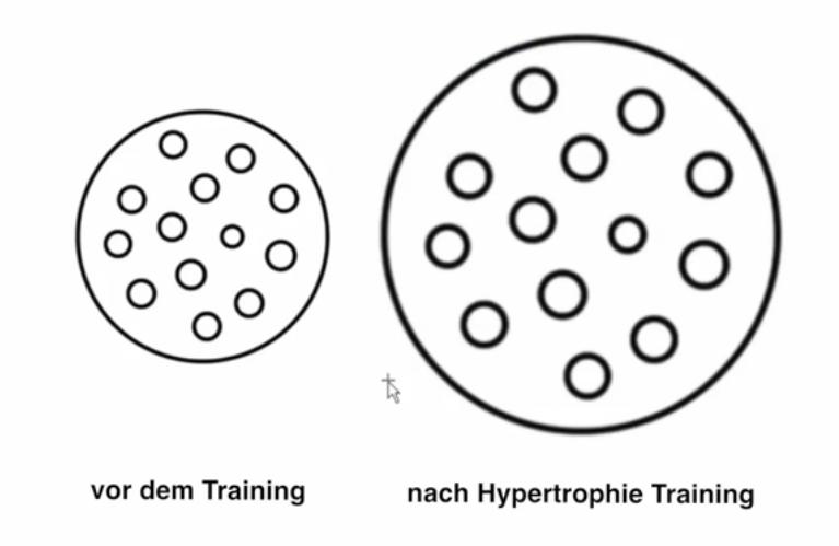 Querschnittszuwachs nach Hypertrophie-Training (© Osteovital.net)